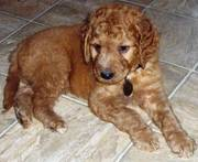 Lovely golden doodle puppies are ready for sale