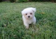 Adorable and sweet Maltese Puppies for sale